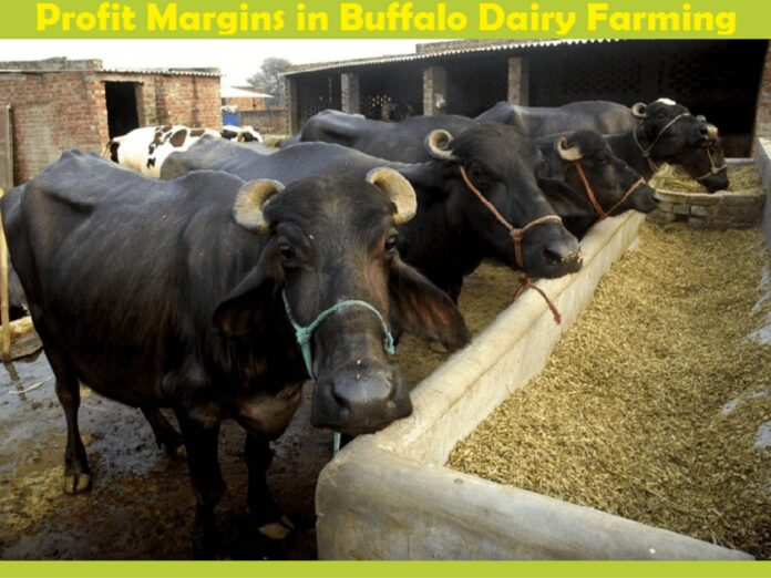 Buffalo Dairy Farming