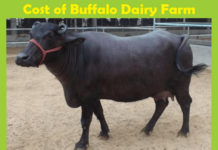 Buffalo Dairy Farm