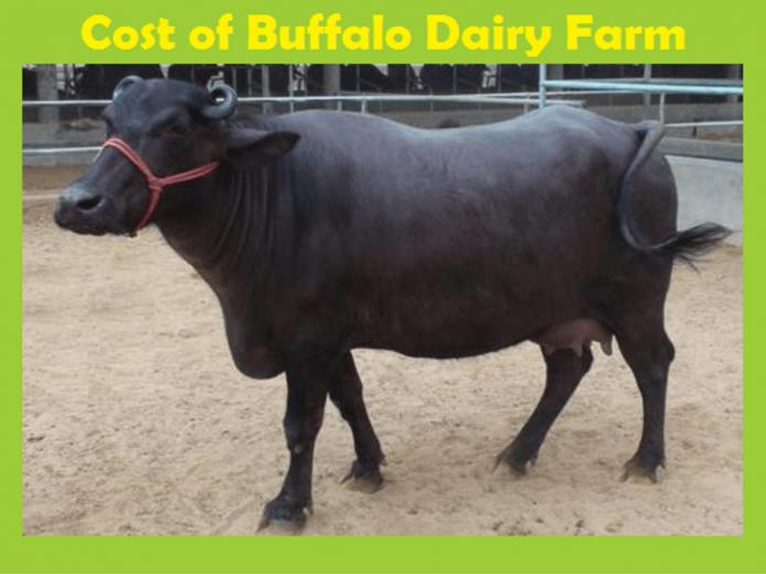 Buffalo Dairy Farm