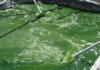 spirulina cultivation