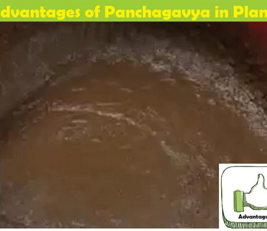 Advantages and Benefits of Panchagavya/Panchakavya for Plants