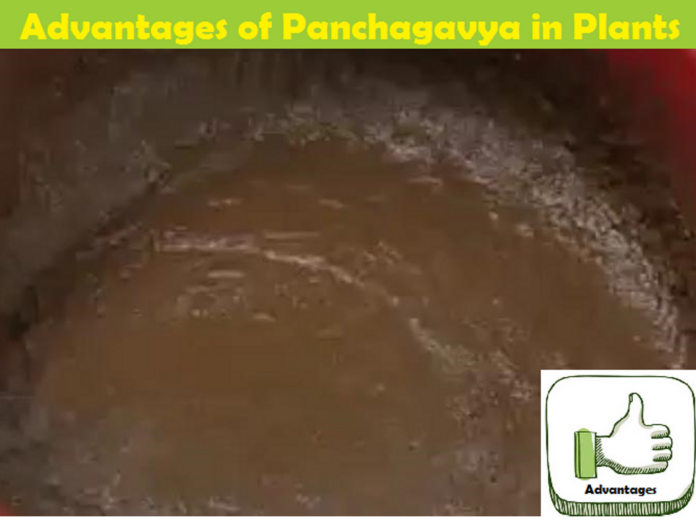 Advantages and Benefits of Panchagavya/Panchakavya for Plants