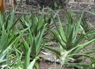 Aloe Vera Farming