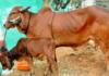 Gir Cow