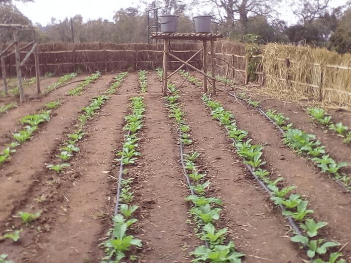 Drip Irrigation 4