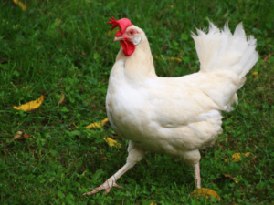 White Egg Laying Hens