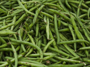 Organic Beans Cultivation
