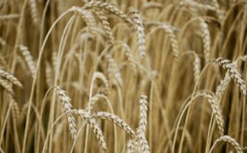Wheat Seed Germination