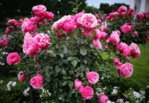 Fertilizer for Roses