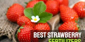 Best strawberry fertilizers