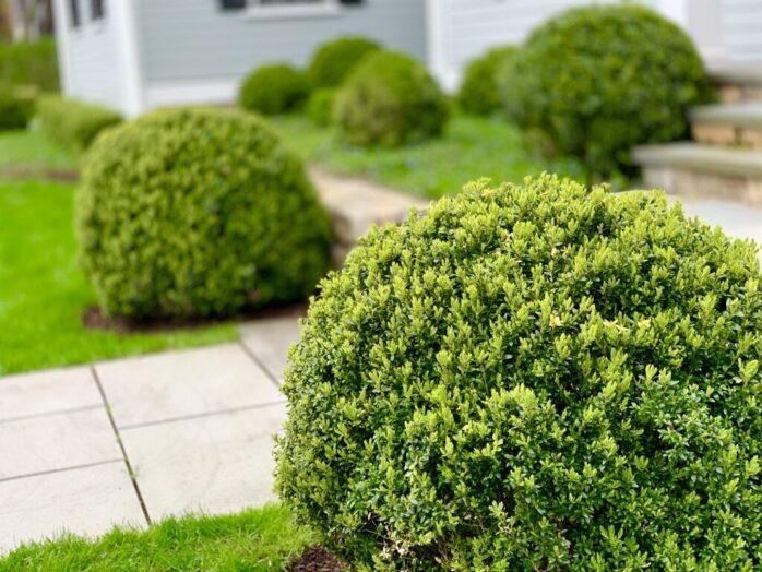 boxwood landscaping